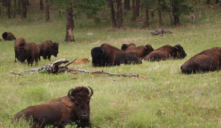 Bison in the Black Hills